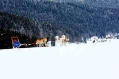 Husky Sled Dogs Running In Snow Stock Photos