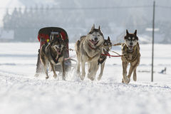 Husky Sled Dogs Running In Snow Stock Photography