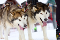 Husky Sled Dogs Running In Snow. Two of sled dogs running through lonely winter landscape stock images