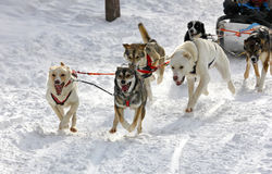 Husky sled dogs. Siberian Husky dogs pulling sledge in Finland Royalty Free Stock Photos