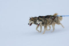 Husky Sled Dogs. Two of sled dogs running through lonely winter landscape royalty free stock photos
