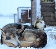 Husky Sled-honden de van Alaska Royalty-vrije Stock Fotografie