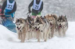 Husky sled race Stock Photos