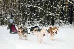 Husky sled racing. Husky racing dogs on the snow Stock Photos