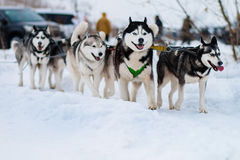 Husky sled in the snow Royalty Free Stock Image