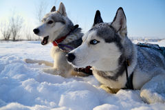 Husky sled in the snow Stock Photography