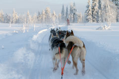 Husky sledge at Finland. Winterwonderland at lapland Finland trees covered with snow and a sunset Stock Image
