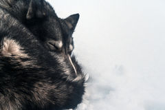 Husky sleeping in the snow. Skiing in untouched snow fluffy Stock Photography