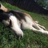 Husky. Sleeping in warm grass royalty free stock photography