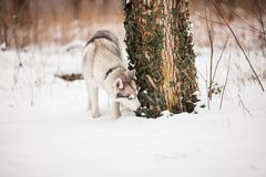 Husky sniffs under the tree. Husky on the walk is sniffing near the tree Royalty Free Stock Image