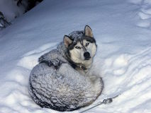 Husky in snow Royalty Free Stock Photos