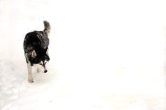 husky snow Arkivbild