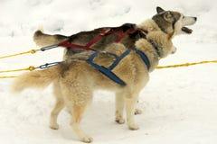 Husky snow dogs Stock Photo