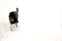 Husky in the snow Stock Photography