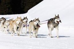 Husky snow race Stock Photo