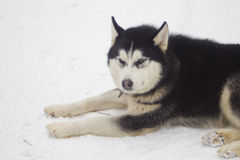 Husky on snow. Single husky black and white dog lying on snow royalty free stock images