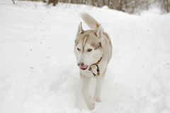 Husky snow winter beautiful proud animal wild dog wolf snow great Royalty Free Stock Photo