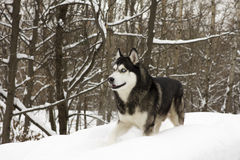 Husky snow winter beautiful proud animal wild dog wolf snow great Stock Photo