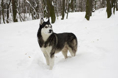 Husky snow winter beautiful proud animal wild dog wolf snow great Stock Photography
