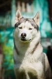 husky ståendesiberian Hund på flodbanken Royaltyfria Bilder