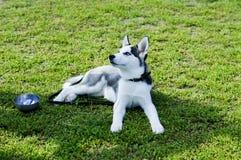 Husky stanco che riposa sull'erba Fotografia Stock Libera da Diritti