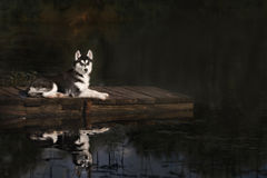 Husky standing on the brink Stock Image
