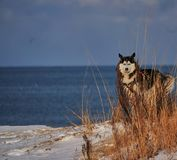 Husky standing by the lake in the snow. Husky standing by the lake behind some plants in the snow stock photography