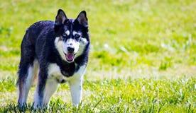 Husky Stare Imagen de archivo libre de regalías