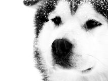 Husky in storm Royalty Free Stock Photos