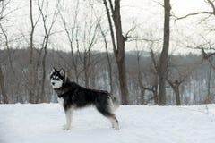 Husky su un guinzaglio, nell'inverno nella neve in foresta Fotografia Stock Libera da Diritti