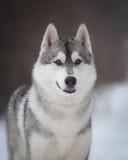 Husky sulla passeggiata Immagine Stock Libera da Diritti