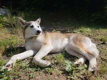Husky in the sun royalty free stock photography