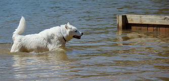Husky Swimming photographie stock libre de droits