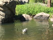 Husky Swimming Lizenzfreie Stockfotos