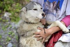 Husky Team Fotografía de archivo libre de regalías