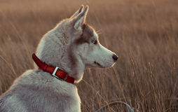 Husky thinks. Dog thinking about something on the field Stock Images