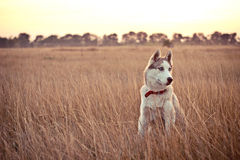 Husky thinks. Photographed the dog for a walk in a field Stock Images