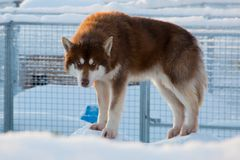Husky on top of kennel. Husky standing on top of snow covered kennel, Kiruna, Sweden royalty free stock images