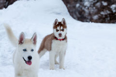 Husky valp på snowen Royaltyfri Bild