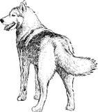 Husky stock illustration