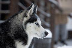 husky vinter för hund Royaltyfri Fotografi