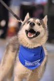 Husky w chustce wokoło jego szyi Zdjęcie Royalty Free