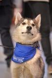 Husky w chustce wokoło jego szyi Zdjęcia Royalty Free