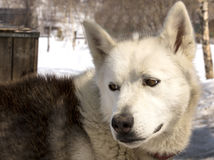 Husky w pepinierze dla psów na Kamchatka Fotografia Royalty Free