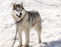 Husky w pepinierze dla psów na Kamchatka Zdjęcie Royalty Free