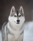 Husky on the walk Royalty Free Stock Image