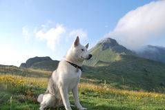 Husky for a walk in the mountains royalty free stock photography