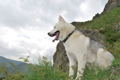 Husky for a walk in the mountains in summer Stock Photography