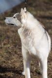 Husky on the walk. Photo of a beautiful animal Stock Photography