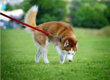 Husky walk Royalty Free Stock Photos